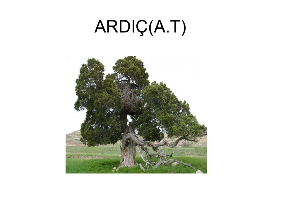 ARDIÇ(A.T)