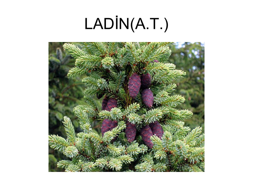 LADİN(A.T.)