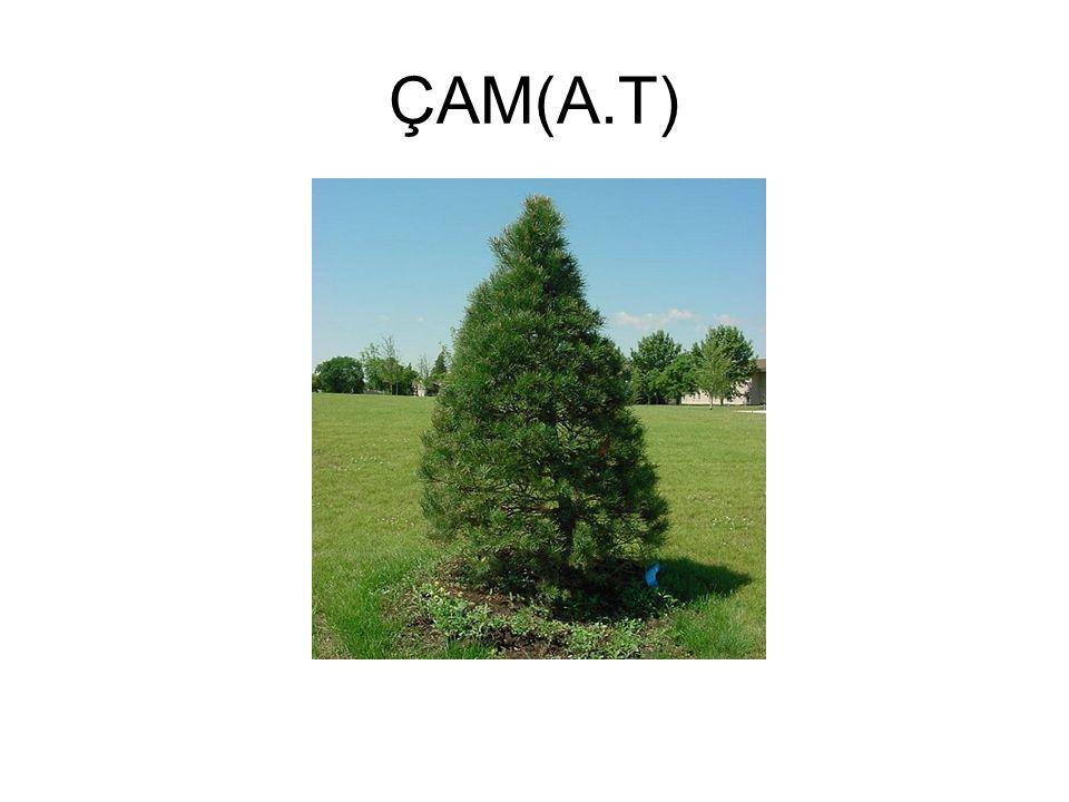 ÇAM(A.T)