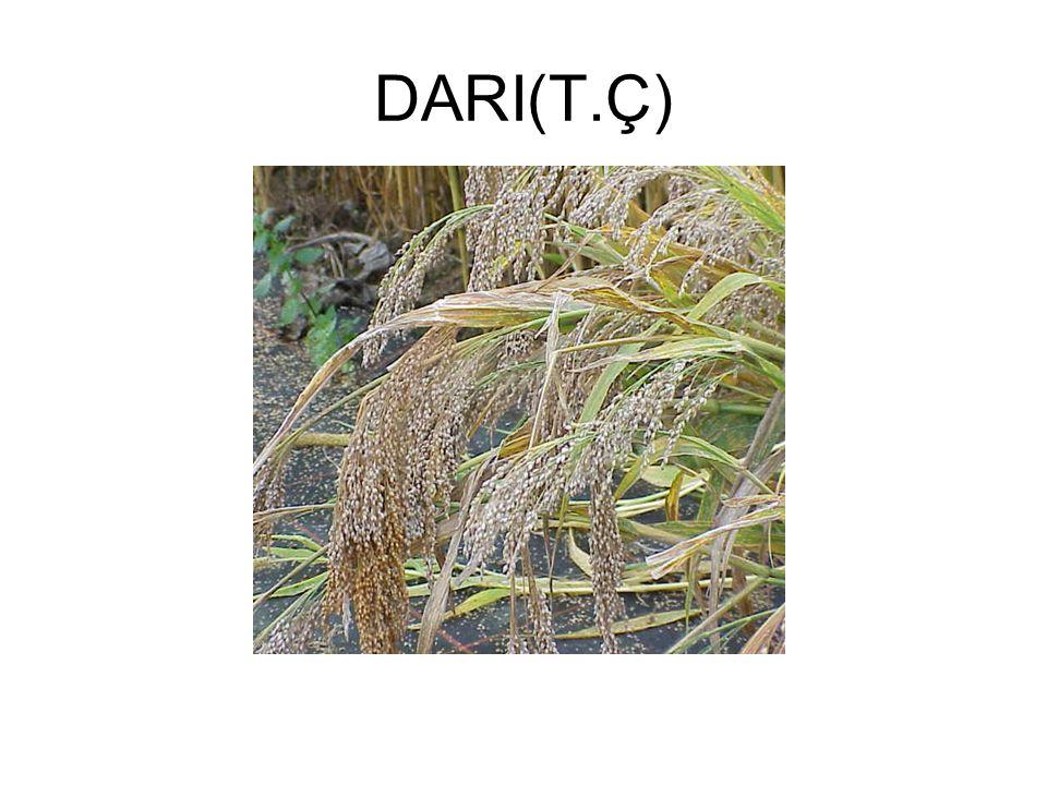 DARI(T.Ç)