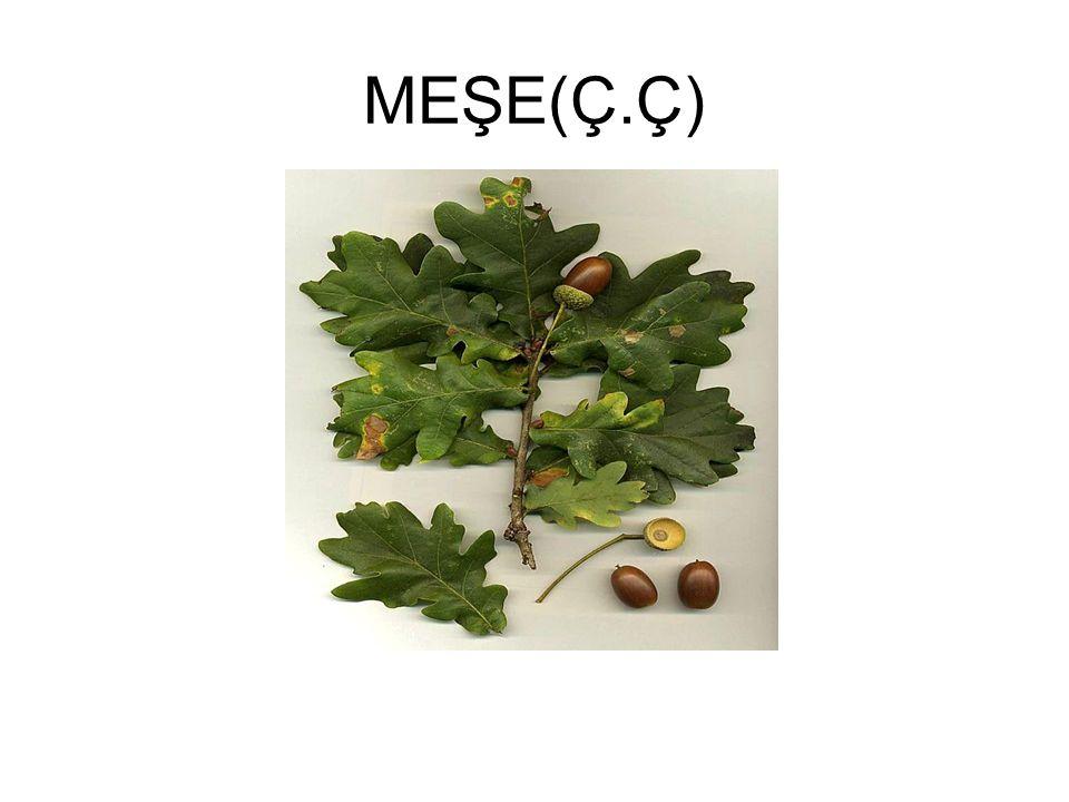 MEŞE(Ç.Ç)