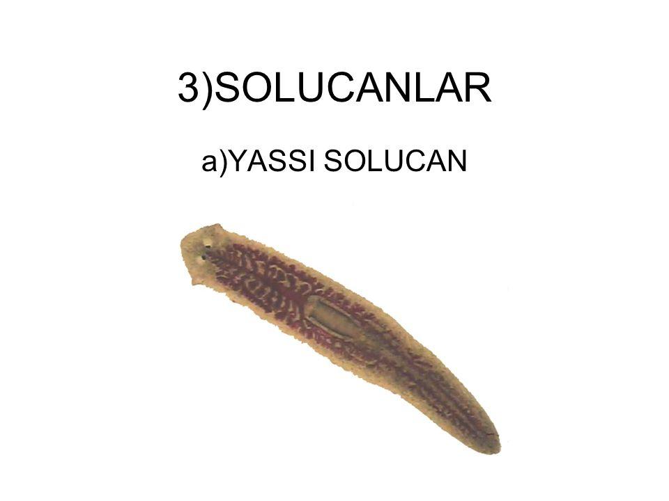 3)SOLUCANLAR a)YASSI SOLUCAN
