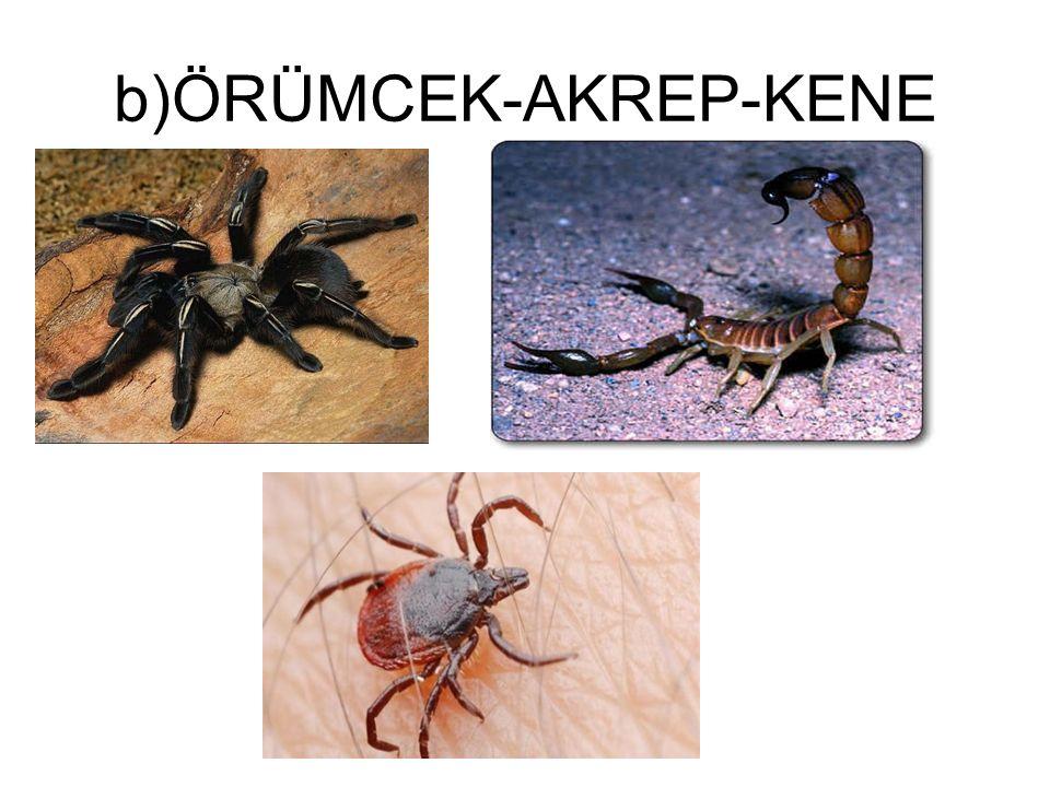 b)ÖRÜMCEK-AKREP-KENE