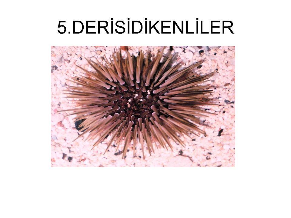 5.DERİSİDİKENLİLER