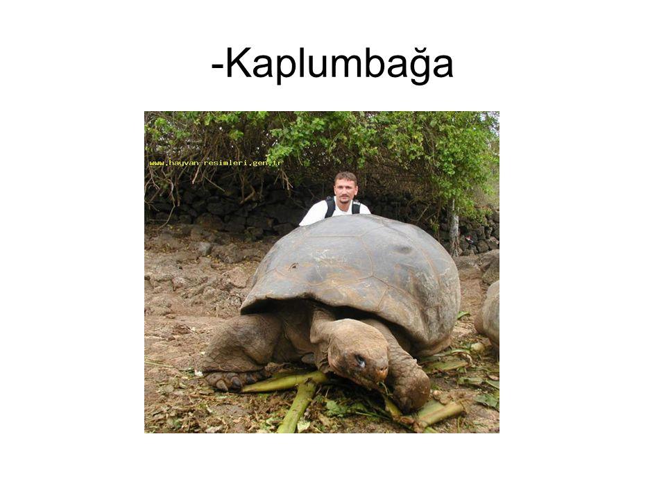 -Kaplumbağa