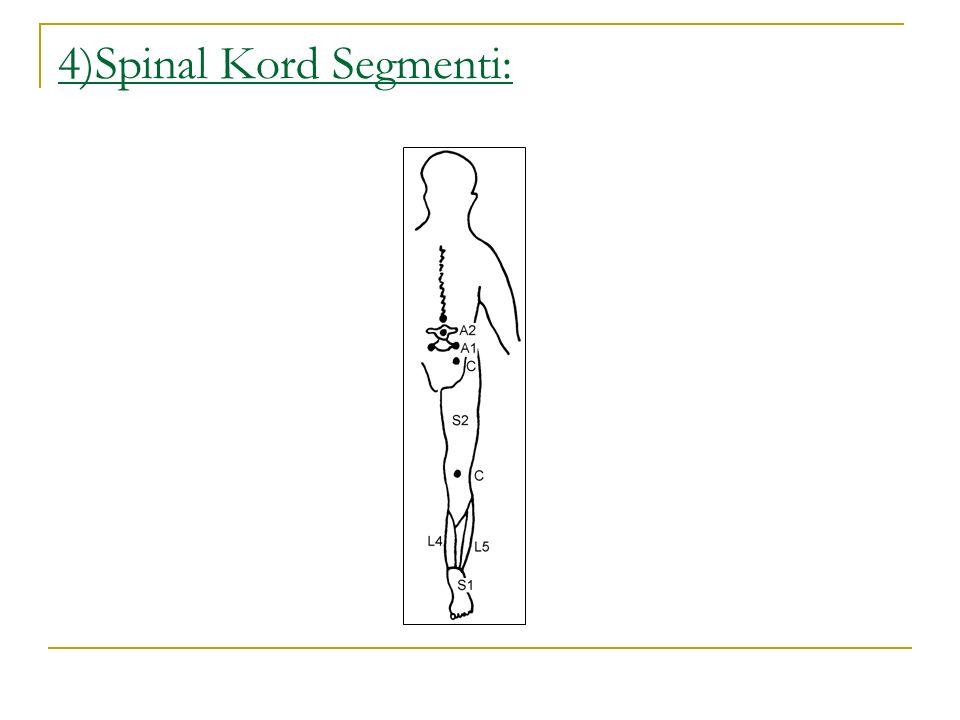 4)Spinal Kord Segmenti: