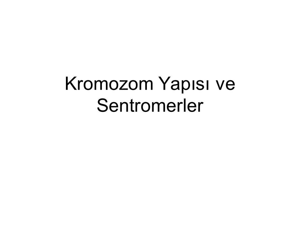 Kromozomun Bölümleri p kolu q kolu Telomer Sentromer Her kromozomda p ve q olmak üzere 2 kol bulunur.