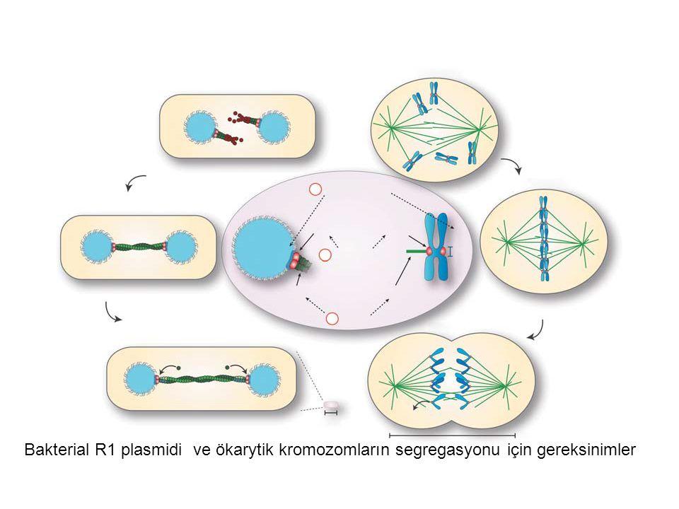 Bakterial R1 plasmidi ve ökarytik kromozomların segregasyonu için gereksinimler