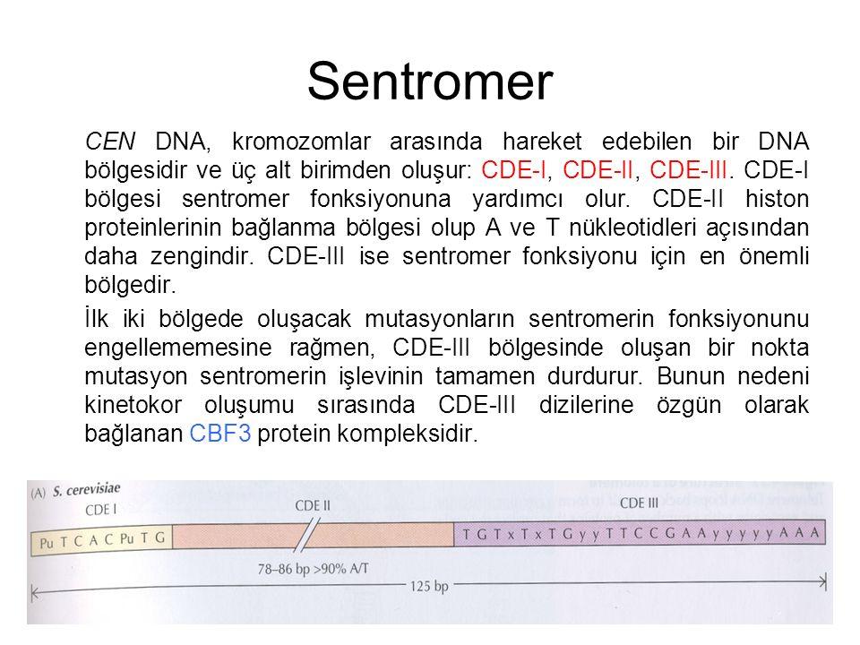 Sentromer CEN DNA, kromozomlar arasında hareket edebilen bir DNA bölgesidir ve üç alt birimden oluşur: CDE-I, CDE-II, CDE-III. CDE-I bölgesi sentromer