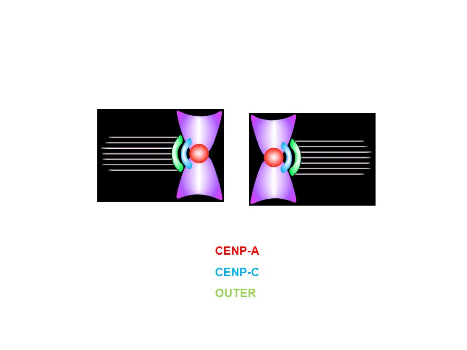CENP-A CENP-C OUTER