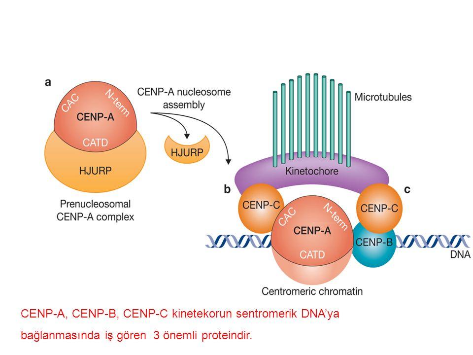 CENP-A, CENP-B, CENP-C kinetekorun sentromerik DNA'ya bağlanmasında iş gören 3 önemli proteindir.