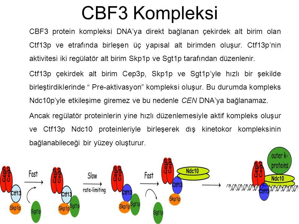 CBF3 Kompleksi CBF3 protein kompleksi DNA'ya direkt bağlanan çekirdek alt birim olan Ctf13p ve etrafında birleşen üç yapısal alt birimden oluşur. Ctf1