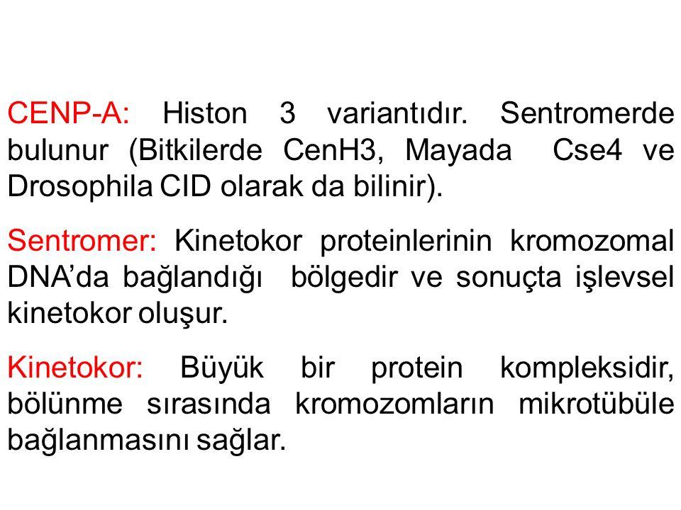 CENP-A: Histon 3 variantıdır. Sentromerde bulunur (Bitkilerde CenH3, Mayada Cse4 ve Drosophila CID olarak da bilinir). Sentromer: Kinetokor proteinler