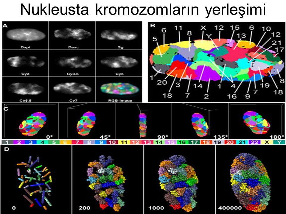 Nukleusta kromozomların yerleşimi