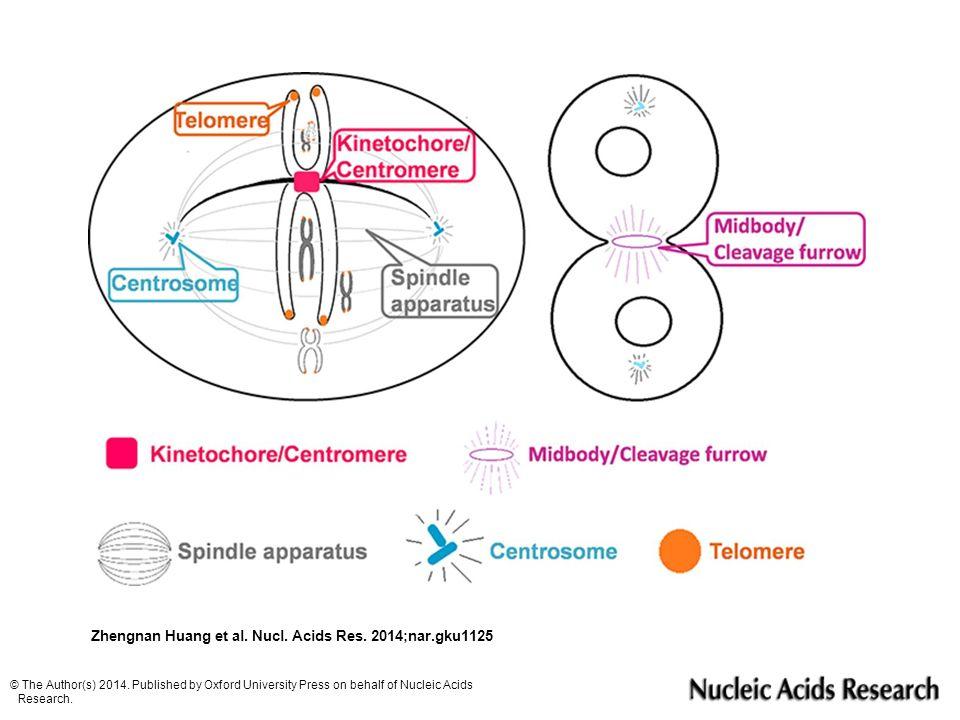 Ökaryotik organizmalarda kromozom segregasyonu için gereksinimler: DNA 'nın hareketi için güç gerekir (mikrotübüller).