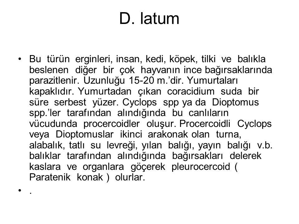 D. latum Bu türün erginleri, insan, kedi, köpek, tilki ve balıkla beslenen diğer bir çok hayvanın ince bağırsaklarında parazitlenir. Uzunluğu 15-20 m.