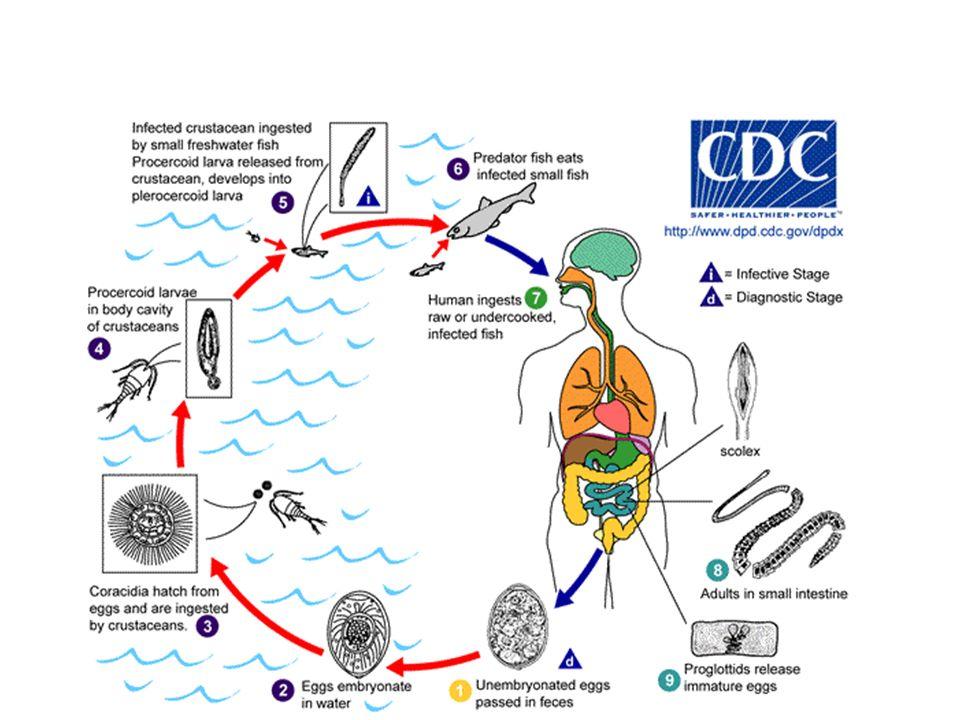 Balıklar, cestodların bir kısmına ait türlerin pleurocercoid safhası ile yeniden enfekte olur.