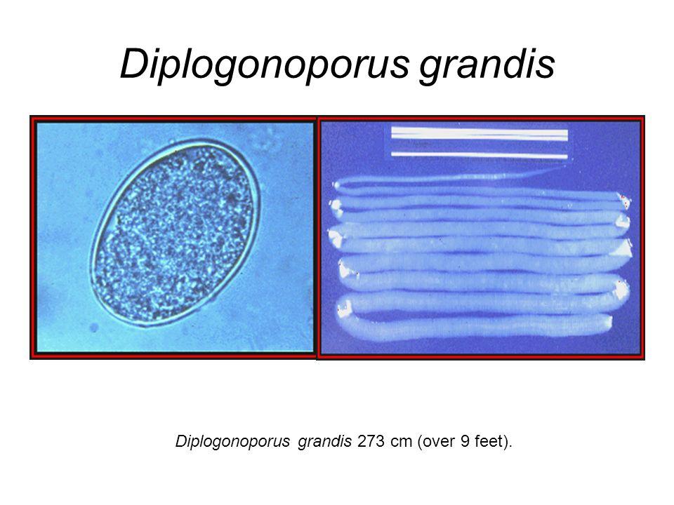 Diplogonoporus grandis Diplogonoporus grandis 273 cm (over 9 feet).