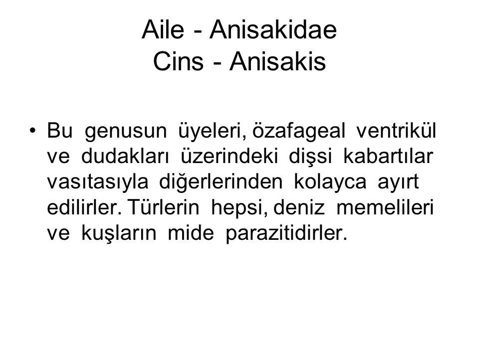 Aile - Anisakidae Cins - Anisakis Bu genusun üyeleri, özafageal ventrikül ve dudakları üzerindeki dişsi kabartılar vasıtasıyla diğerlerinden kolayca ayırt edilirler.