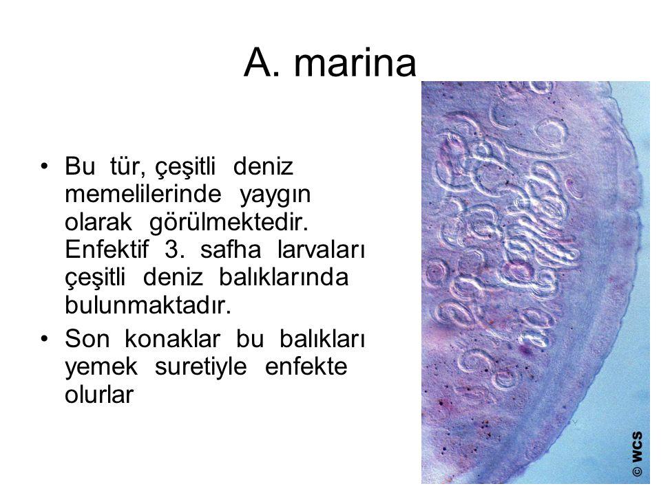 A. marina Bu tür, çeşitli deniz memelilerinde yaygın olarak görülmektedir.