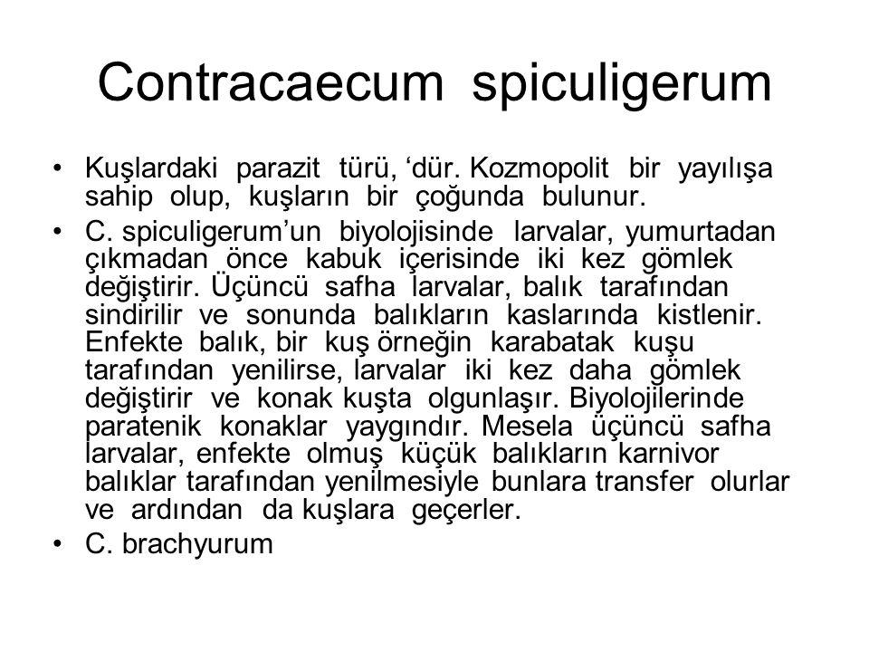 Contracaecum spiculigerum Kuşlardaki parazit türü, 'dür.