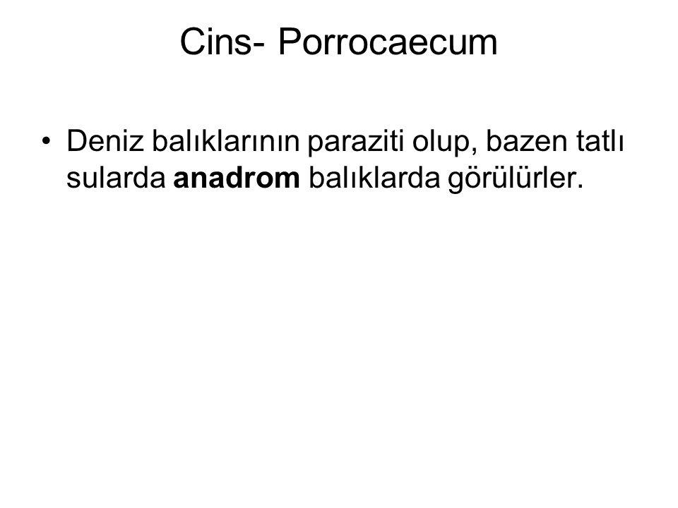 Cins- Porrocaecum Deniz balıklarının paraziti olup, bazen tatlı sularda anadrom balıklarda görülürler.