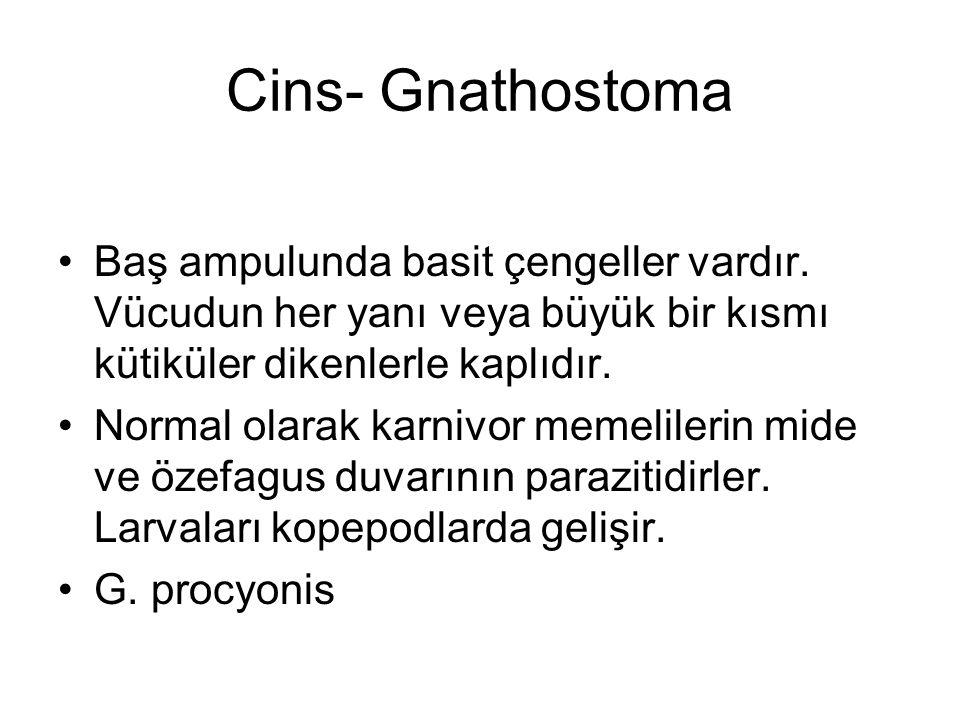 Cins- Gnathostoma Baş ampulunda basit çengeller vardır.