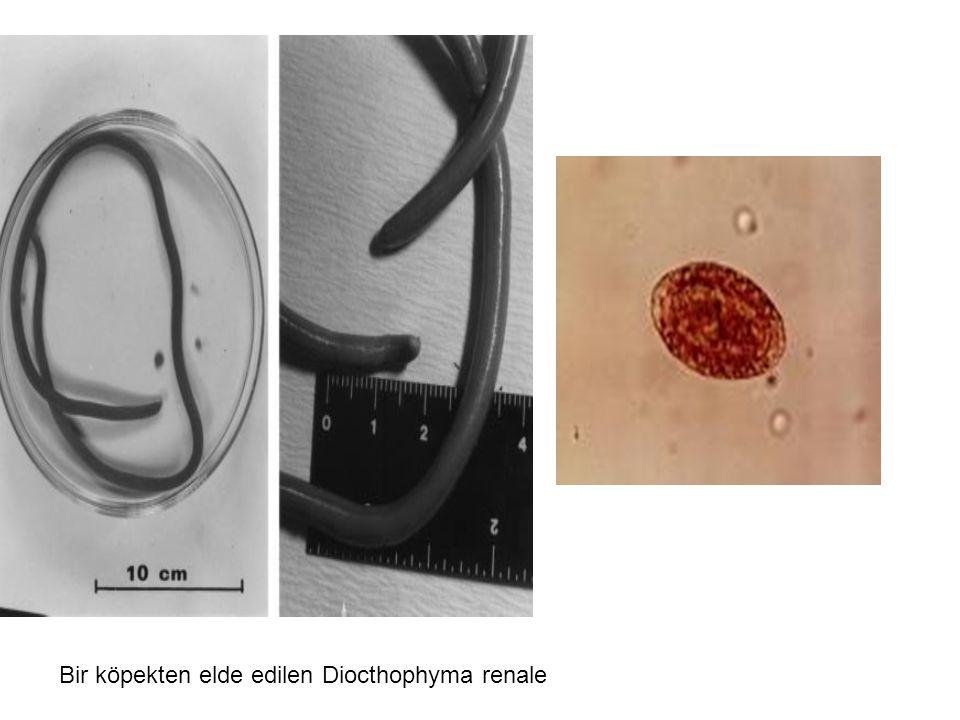 Bir köpekten elde edilen Diocthophyma renale