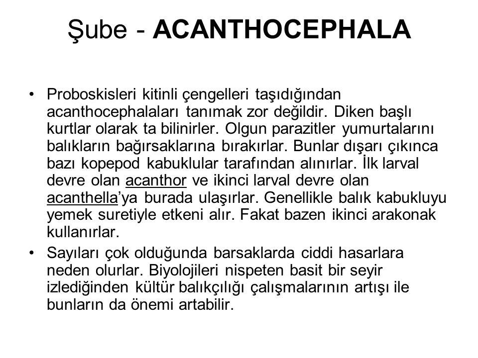Şube - ACANTHOCEPHALA Proboskisleri kitinli çengelleri taşıdığından acanthocephalaları tanımak zor değildir.