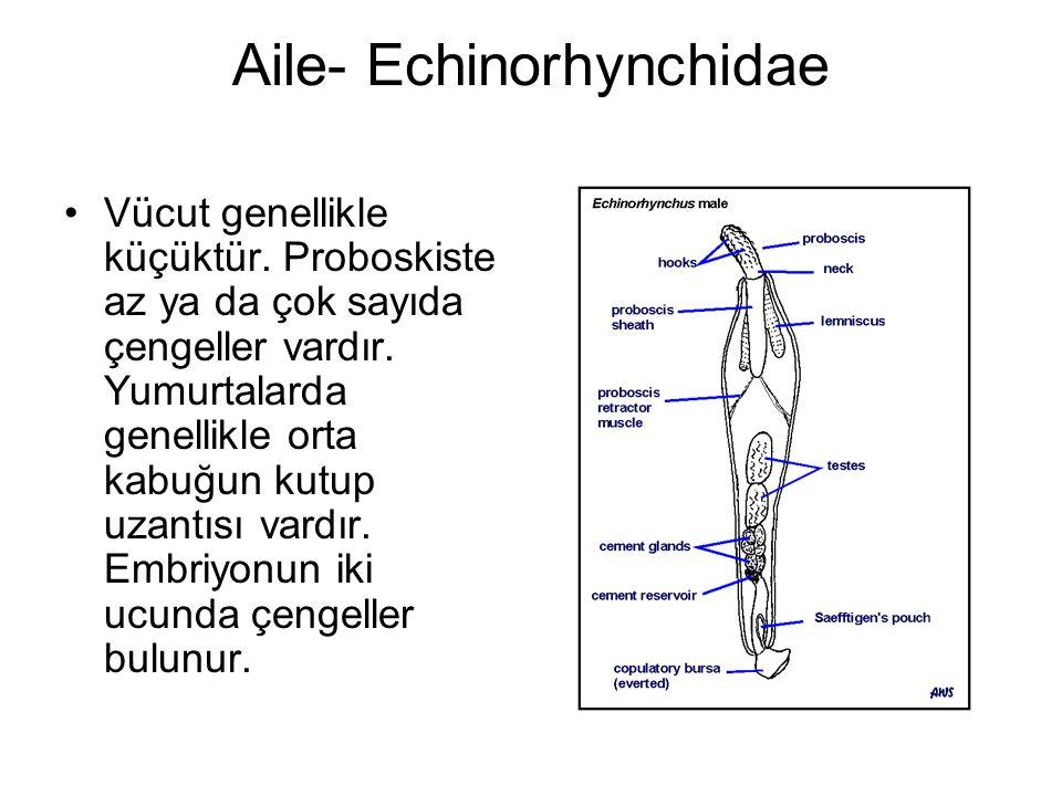Aile- Echinorhynchidae Vücut genellikle küçüktür.Proboskiste az ya da çok sayıda çengeller vardır.