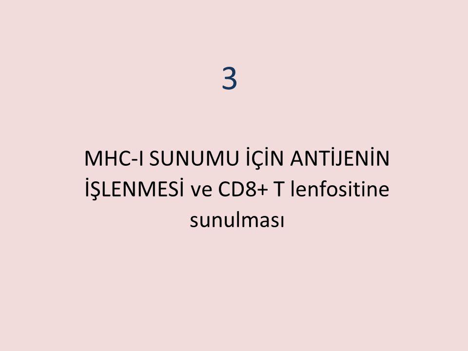 MHC-I SUNUMU İÇİN ANTİJENİN İŞLENMESİ ve CD8+ T lenfositine sunulması 3