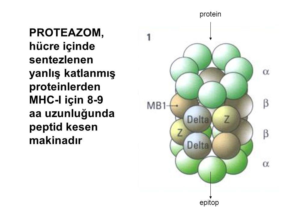 protein epitop PROTEAZOM, hücre içinde sentezlenen yanlış katlanmış proteinlerden MHC-I için 8-9 aa uzunluğunda peptid kesen makinadır