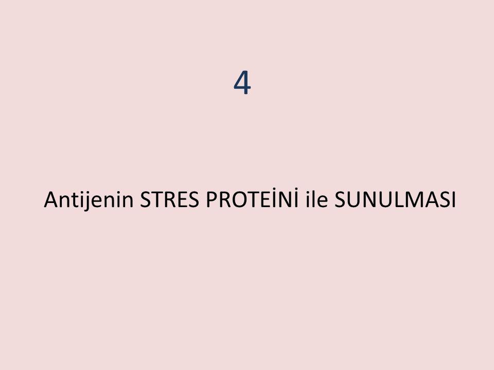 Antijenin STRES PROTEİNİ ile SUNULMASI 4