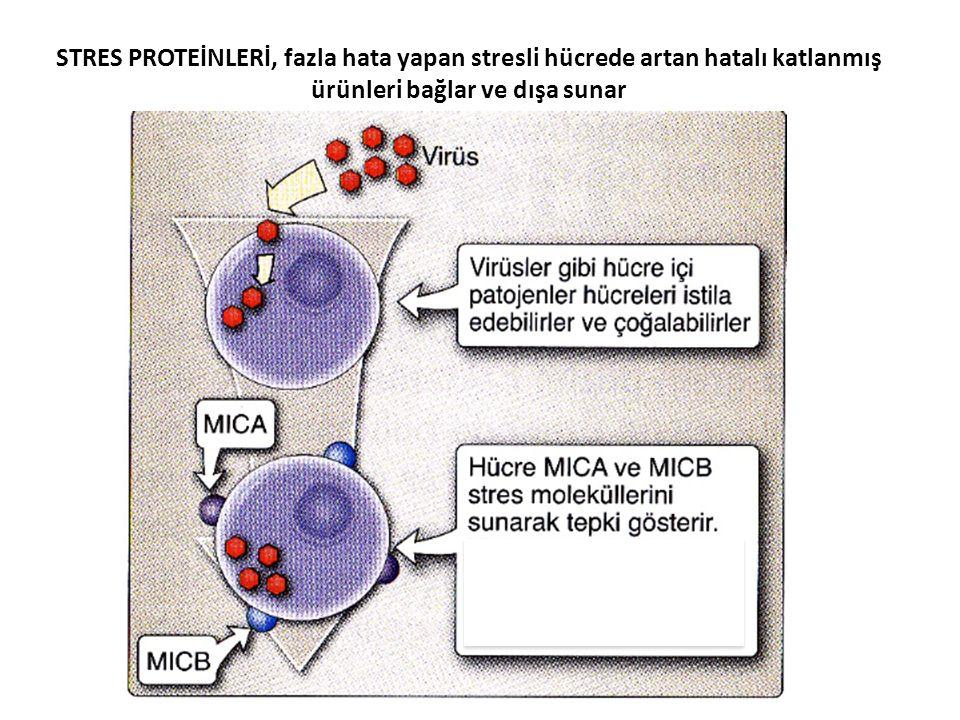 STRES PROTEİNLERİ, fazla hata yapan stresli hücrede artan hatalı katlanmış ürünleri bağlar ve dışa sunar