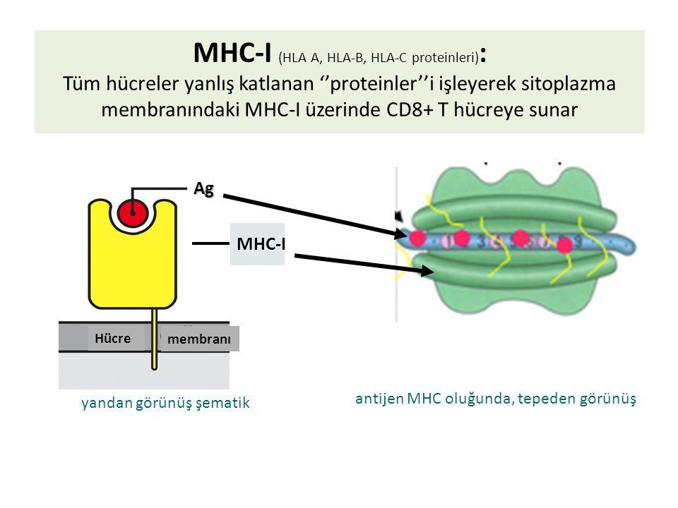 Hücre Ag MHC-I antijen MHC oluğunda, tepeden görünüş yandan görünüş şematik membranı MHC-I (HLA A, HLA-B, HLA-C proteinleri) : Tüm hücreler yanlış katlanan ''proteinler''i işleyerek sitoplazma membranındaki MHC-I üzerinde CD8+ T hücreye sunar