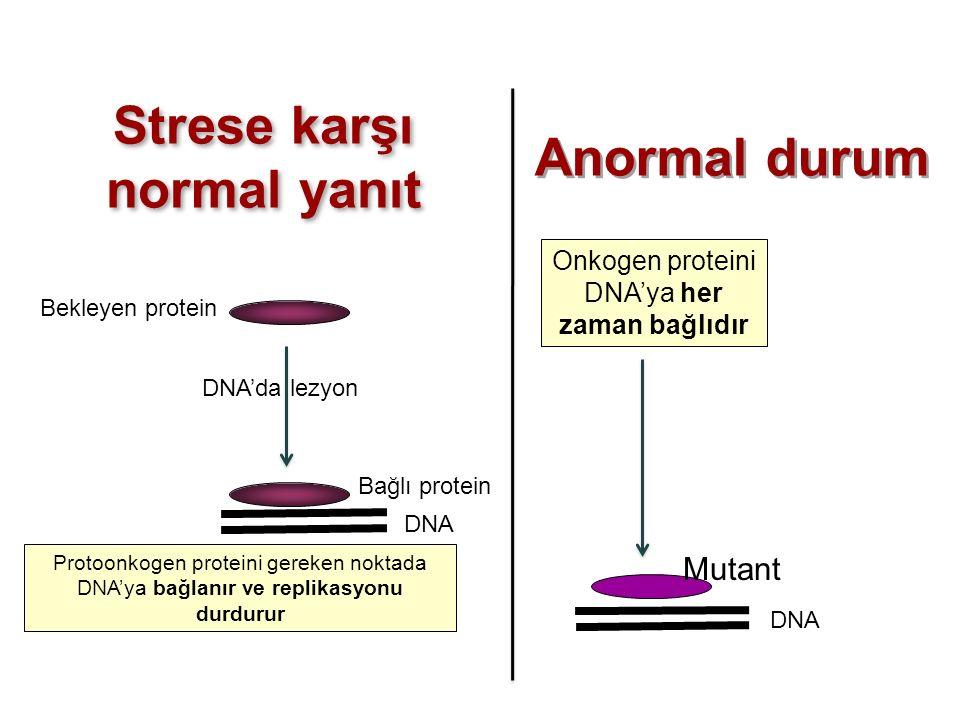 Strese karşı normal yanıt Protoonkogen proteini gereken noktada DNA'ya bağlanır ve replikasyonu durdurur Onkogen proteini DNA'ya her zaman bağlıdır Ba
