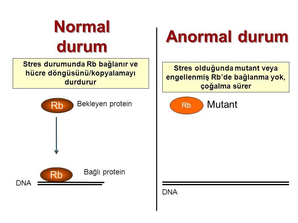 Mutant Rb Stres durumunda Rb bağlanır ve hücre döngüsünü/kopyalamayı durdurur Stres olduğunda mutant veya engellenmiş Rb'de bağlanma yok, çoğalma süre