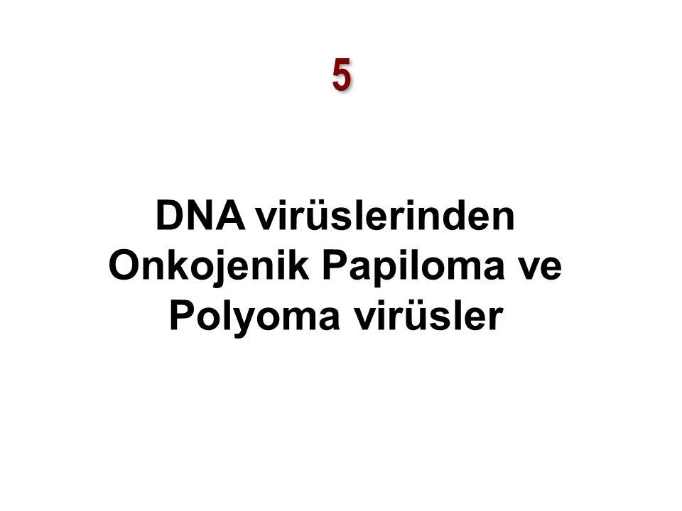5 5 DNA virüslerinden Onkojenik Papiloma ve Polyoma virüsler