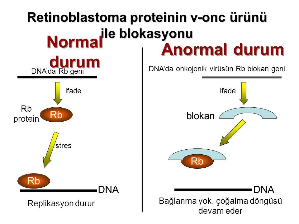 DNA'da Rb geni Rb Rb protein Rb Replikasyon durur Rb DNA'da onkojenik virüsün Rb blokan geni Bağlanma yok, çoğalma döngüsü devam eder Retinoblastoma p