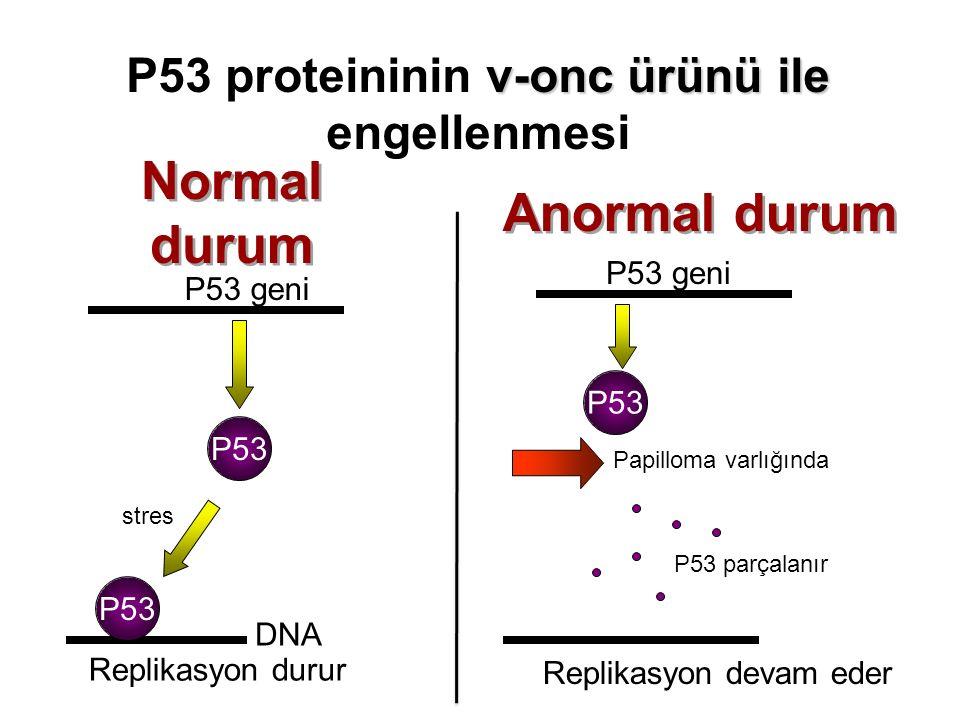 v-onc ürünü ile P53 proteininin v-onc ürünü ile engellenmesi P53 geni P53 DNA P53 Papilloma varlığında Replikasyon durur Replikasyon devam eder Normal