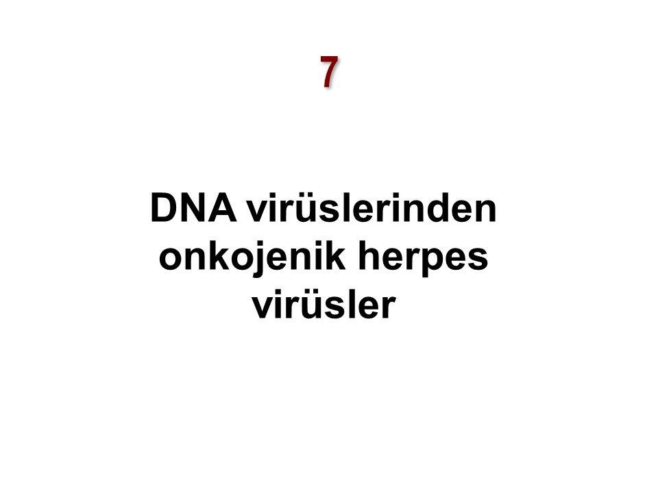 7 7 DNA virüslerinden onkojenik herpes virüsler