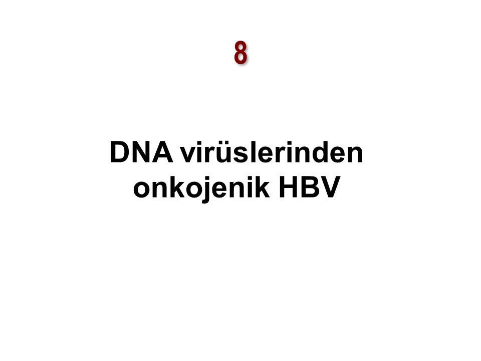 8 8 DNA virüslerinden onkojenik HBV