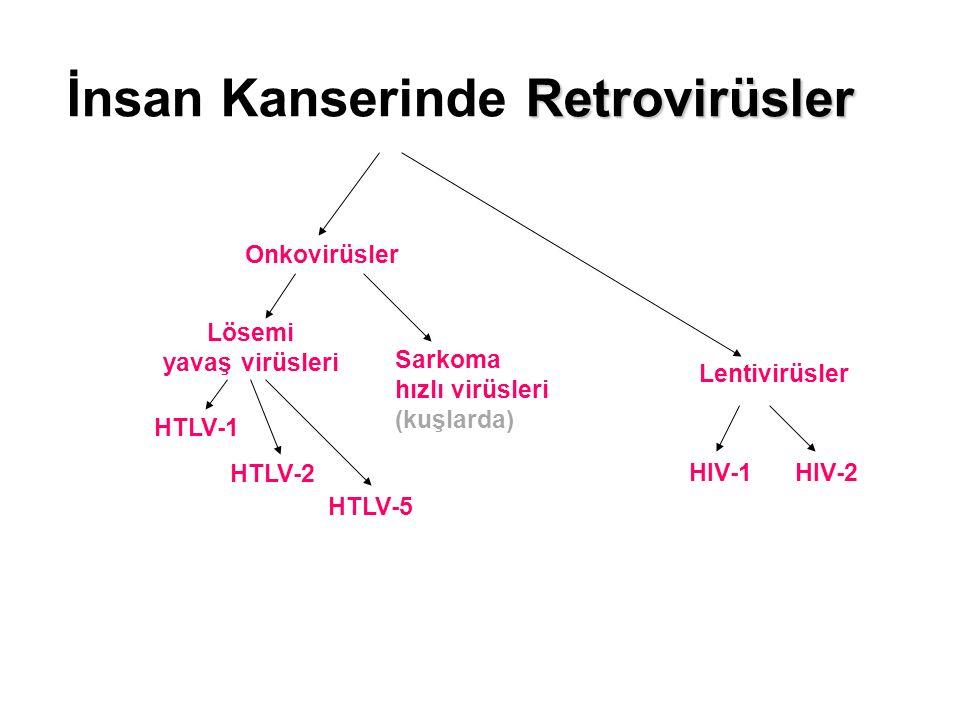 Retrovirüsler İnsan Kanserinde Retrovirüsler Lentivirüsler Onkovirüsler HTLV-1 HTLV-5 HTLV-2 Sarkoma hızlı virüsleri (kuşlarda) Lösemi yavaş virüsleri