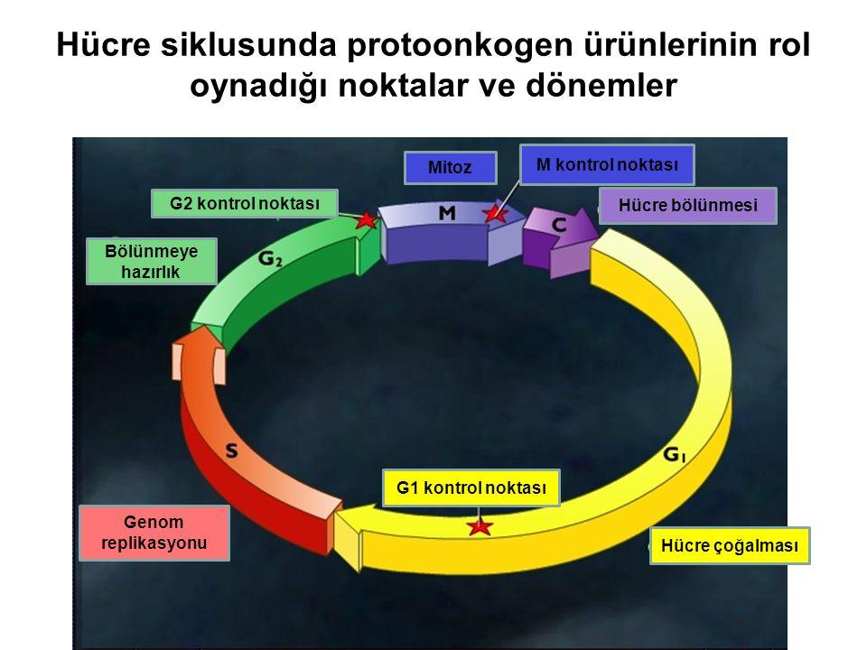 Myc Src Ras Sis Erb PROTOONKOGEN ÜRÜNLERİ Myb Mos Fms Fes Çoğalma faktörleri Çoğalma Faktör algaçları Çoğalmada sinyal iletim proteinleri Çoğalmada transkripsiyon faktörleri