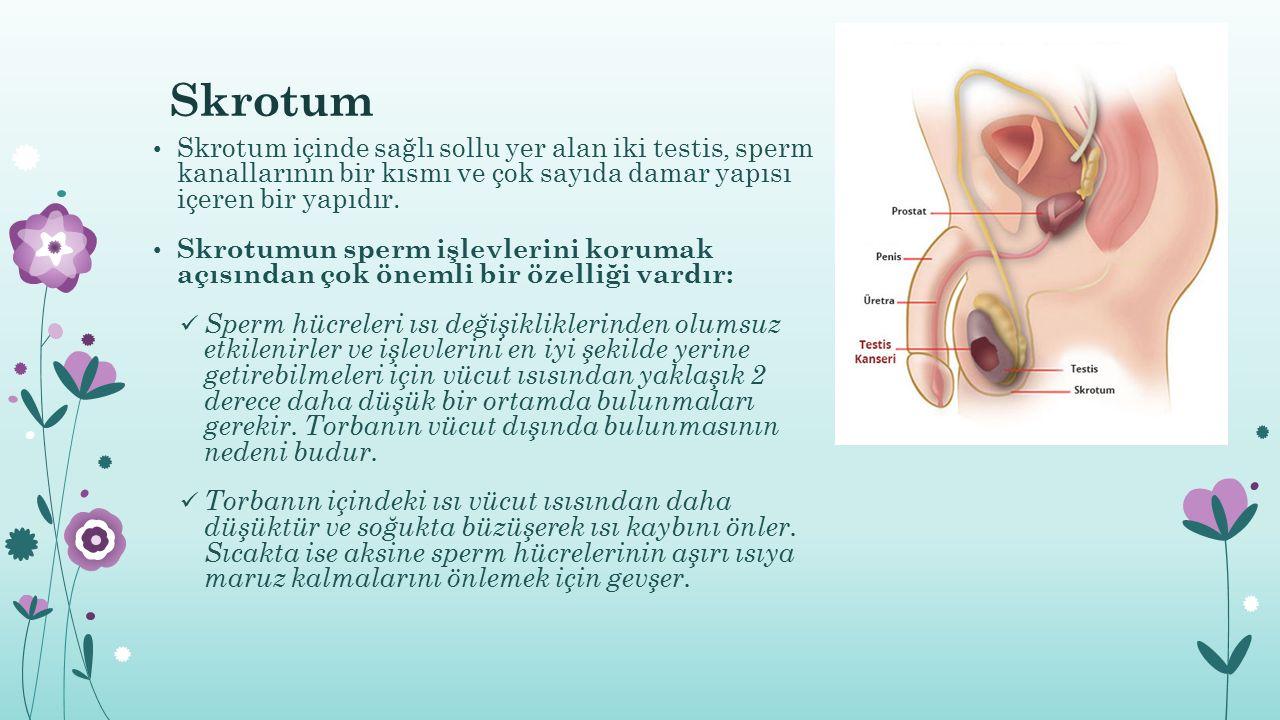 Skrotum Skrotum içinde sağlı sollu yer alan iki testis, sperm kanallarının bir kısmı ve çok sayıda damar yapısı içeren bir yapıdır. Skrotumun sperm iş