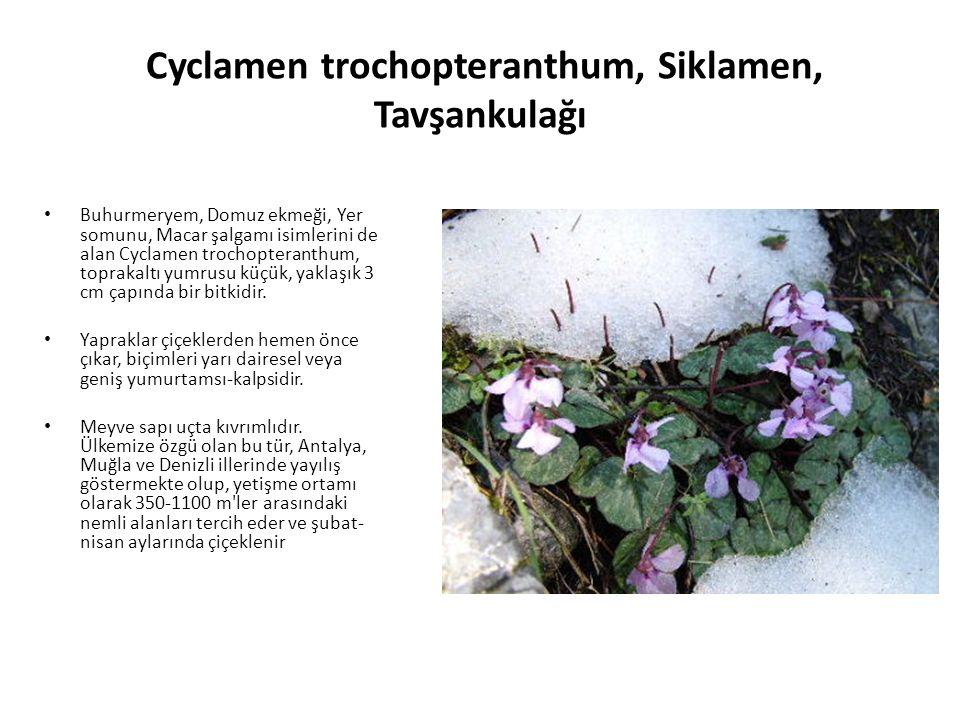 Cyclamen trochopteranthum, Siklamen, Tavşankulağı Buhurmeryem, Domuz ekmeği, Yer somunu, Macar şalgamı isimlerini de alan Cyclamen trochopteranthum, toprakaltı yumrusu küçük, yaklaşık 3 cm çapında bir bitkidir.