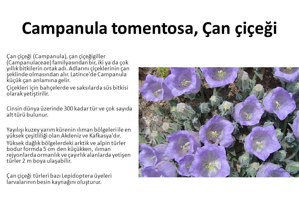 Campanula tomentosa, Çan çiçeği Çan çiçeği (Campanula), çan çiçeğigiller (Campanulaceae) familyasından bir, iki ya da çok yıllık bitkilerin ortak adı.
