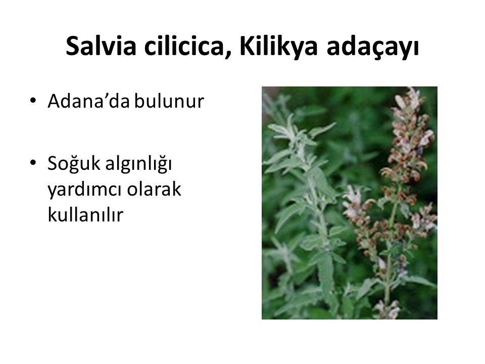 Salvia cilicica, Kilikya adaçayı Adana'da bulunur Soğuk algınlığı yardımcı olarak kullanılır