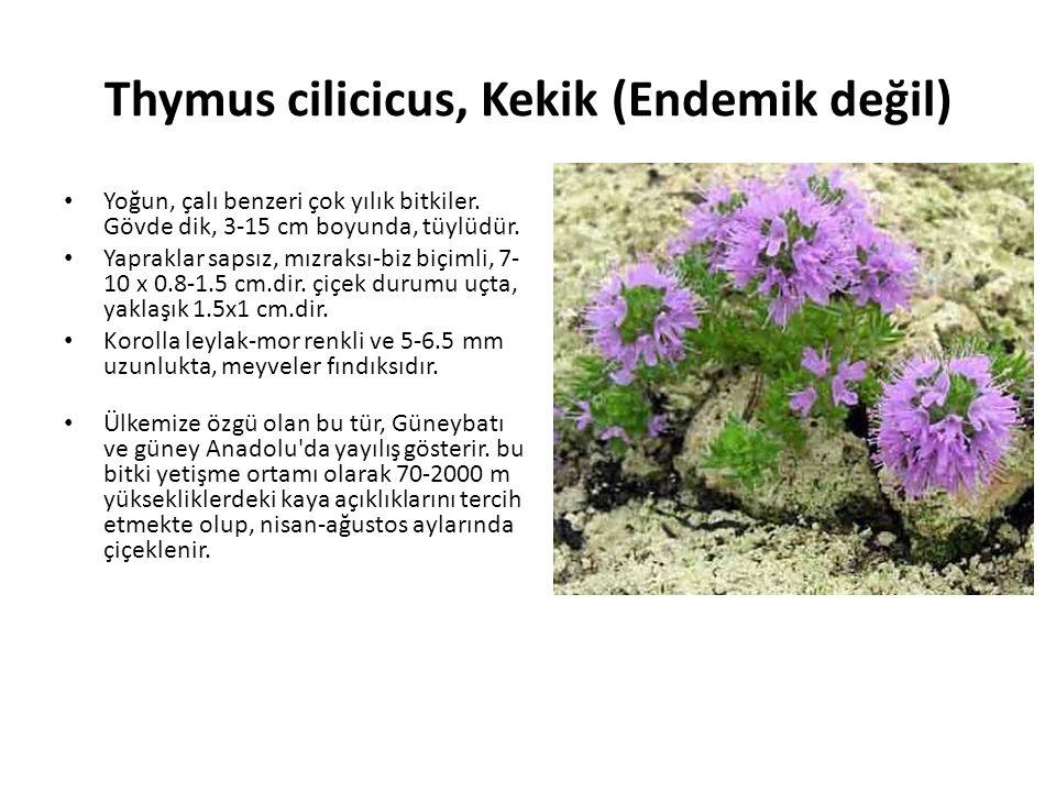 Thymus cilicicus, Kekik (Endemik değil) Yoğun, çalı benzeri çok yılık bitkiler.