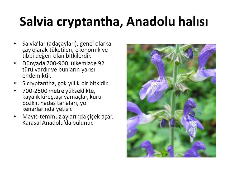 Salvia cryptantha, Anadolu halısı Salvia'lar (adaçayları), genel olarka çay olarak tüketilen, ekonomik ve tıbbi değeri olan bitkilerdir.